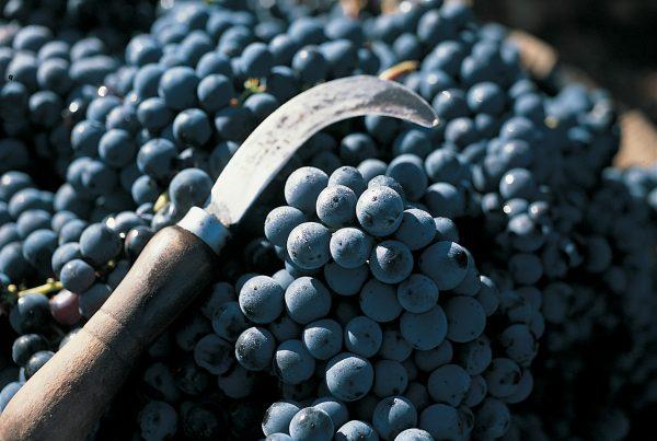 Tempranilo Grapes